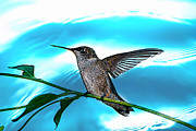 Lila Fisher-Wenzel - Humming Bird