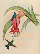 Hummingbird Drawings Metal Prints - Hummingbirds Metal Print by Unknown