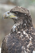 Ken Keener - Juvenile Bald Eagle