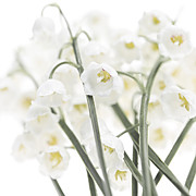 Easter Flowers Posters - Lily-of-the-valley flowers  Poster by Elena Elisseeva