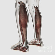 Human Body Parts Posters - Male Muscle Anatomy Of The Human Legs Poster by Stocktrek Images