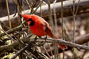 Northern Cardinal Photo Prints - Northern Cardinal Male Print by Dan Ferrin