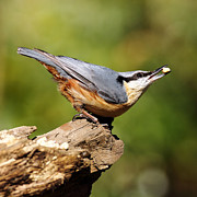 Bird Pictures Framed Prints - Nuthatch Framed Print by Grant Glendinning