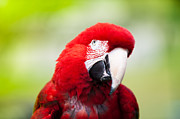 Macaw Photos - Parrot by Sebastian Musial