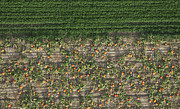Agronomy Photos - Pumpkin Field, Pueblo by John Wark