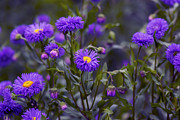 Tiny Leaves Prints - Purple Aster Flower - VanDusen Botanical Garden Print by May L