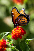 Saija  Lehtonen - Queen Butterfly