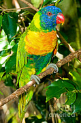 Lorikeet Photos - Rainbow Lorikeet by Millard H. Sharp
