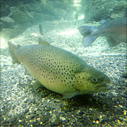 Alive Photo Posters - Rainbow trout Poster by Les Cunliffe