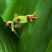 Crawling Posters - Red Eyed Tree Frog  Poster by Dirk Ercken