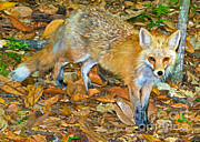 Fauna Metal Prints - Red Fox Metal Print by Millard H. Sharp