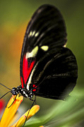Sitting Photo Posters - Red heliconius dora butterfly Poster by Elena Elisseeva