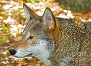 Critically Endangered Species Prints - Red Wolf Print by Millard H. Sharp