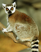 Lemur Photos - Ring-tailed Lemur by Millard H. Sharp