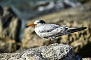 Bill Hosford - Royal Tern