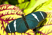 Neotropical Posters - Sara Longwing Butterfly Poster by Millard H. Sharp