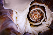 White Spiral Prints - Seashell detail Print by Elena Elisseeva