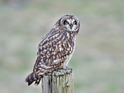 Kathy King - Short-Eared Owl