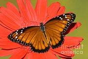 Milkweed Butterfly Framed Prints - Soldier Butterfly Danaus Eresimus Framed Print by Millard H. Sharp