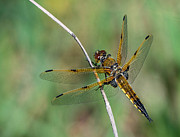 Predaceous Framed Prints - 4-Spotted Chaser Framed Print by Jim Zablotny