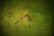 Dragonflies Art - 4 Spotted Skimmer by Cindi Ressler