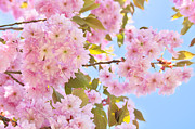 Cherry Blossoms Posters - Springtime Poster by Angela Doelling AD DESIGN Photo and PhotoArt