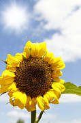Season Photo Prints - Sunflower Print by Les Cunliffe