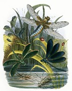 Sphinx Prints - The Butterfly Vivarium Print by English School