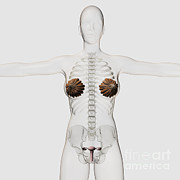 Human Anatomy Prints - Three Dimensional View Of The Female Print by Stocktrek Images