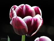 Mahogany Red Photo Prints - Triumph Tulip named Jackpot Print by J McCombie