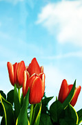 Petals Art - Tulips background by Michal Bednarek