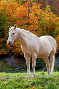 White Horses Framed Prints - White Horse in Autumn Framed Print by Brian Jannsen