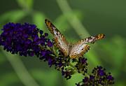 Saija  Lehtonen - White Peacock Butterfly