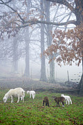 Sheep Farm Prints - Winter Lambs Foggy Day Print by Thomas R Fletcher