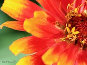 Zinnia Elegans Framed Prints - Zinnia from the Whirligig Mix Framed Print by J McCombie