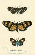 Insects Posters - Butterflies Poster by English School