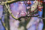 Gardening Photography Posters - Cherry Blossom - Sakura - Spring Flower Poster by May L
