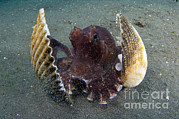 Lembeh Strait Framed Prints - A Coconut Octopus, Lembeh Strait Framed Print by Steve Jones