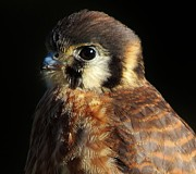 Thomas Photography  Thomas - American Kestrel