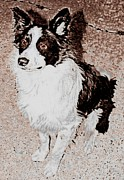 Collie Digital Art Posters - Archie Poster by Barbara  Sellers