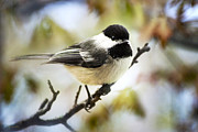 Black And White Digital Art Posters - Black-Capped Chickadee Poster by Christina Rollo