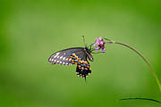 Karen Adams - Black Swallowtail...