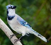 A Gurmankin - Blue Jay Animal Portrait