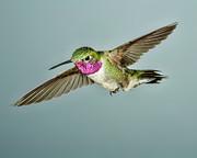 Broadtail Hummingbird Print by Gregory Scott