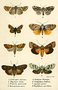 Natural History Posters - Butterflies Poster by English School