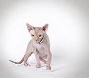 Naked Cat Prints - Canadian sphynx cat Print by Waldek Dabrowski