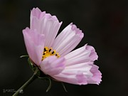 Mccombie Photos - Cosmos named Sea Shells Pink by J McCombie