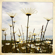Nature Closeup Metal Prints - Daisies Metal Print by Les Cunliffe
