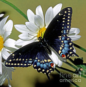 Fauna Metal Prints - Eastern Black Swallowtail Metal Print by Millard H. Sharp