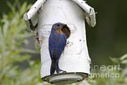 Eastern Bluebird Print by Linda Freshwaters Arndt